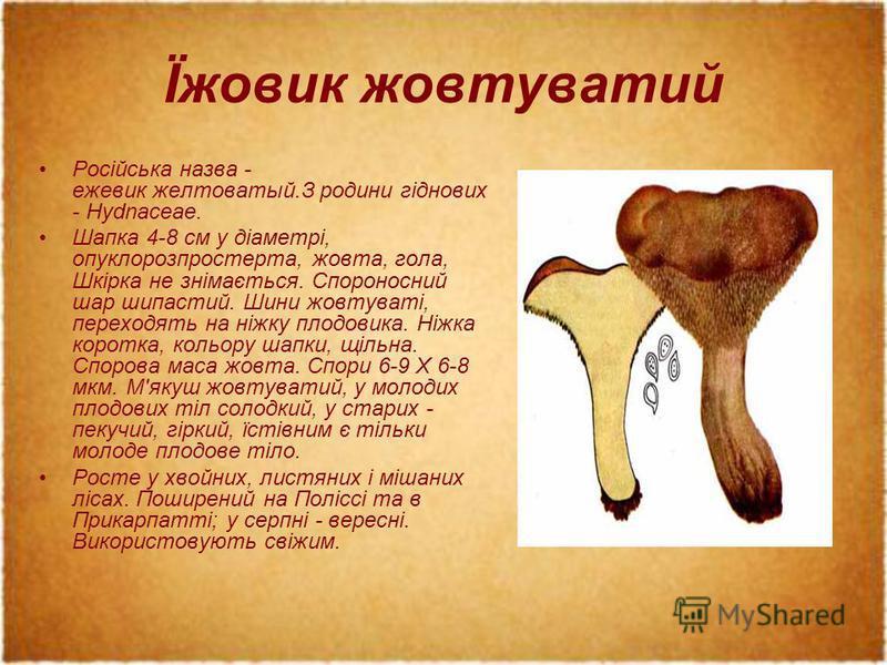 Їжовик жовтуватий Російська назва - ежевик желтоватый.З родини гіднових - Hydnaceae. Шапка 4-8 см у діаметрі, опуклорозпростерта, жовта, гола, Шкірка не знімається. Спороносний шар шипастий. Шини жовтуваті, переходять на ніжку плодовика. Ніжка коротк