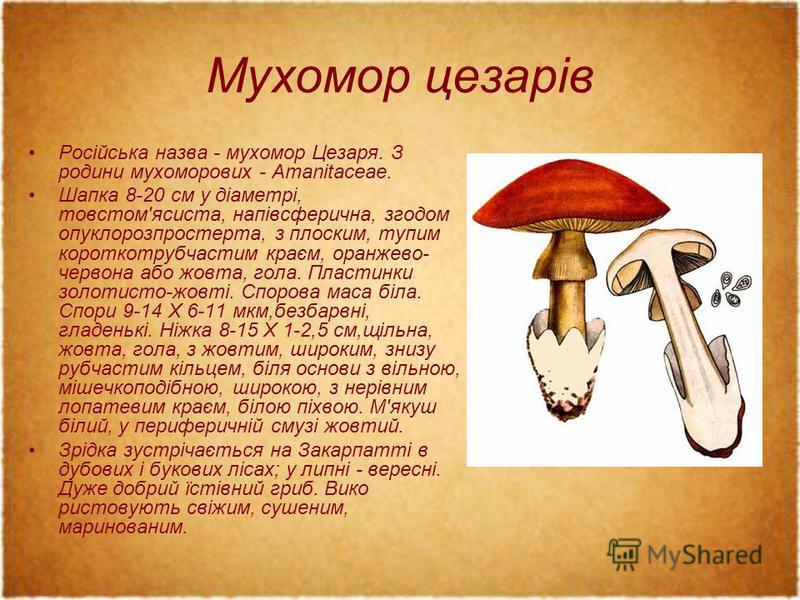 Мухомор цезарів Російська назва - мухомор Цезаря. З родини мухоморових - Amanitaceae. Шапка 8-20 см у діаметрі, товстом'ясиста, напівсферична, згодом опуклорозпростерта, з плоским, тупим короткотрубчастим краєм, оранжево- червона або жовта, гола. Пла