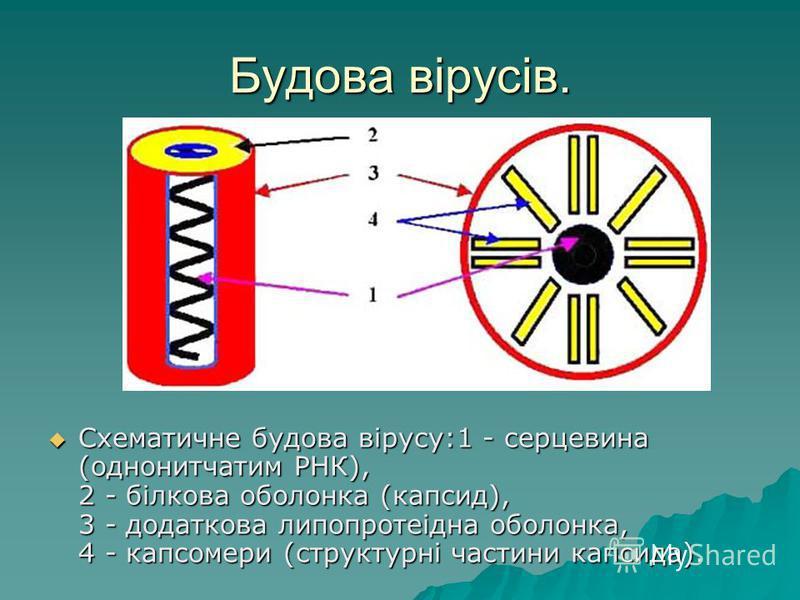 Будова вірусів. Схематичне будова вірусу:1 - серцевина (однонитчатим РНК), 2 - білкова оболонка (капсид), 3 - додаткова липопротеідна оболонка, 4 - капсомери (структурні частини капсида).