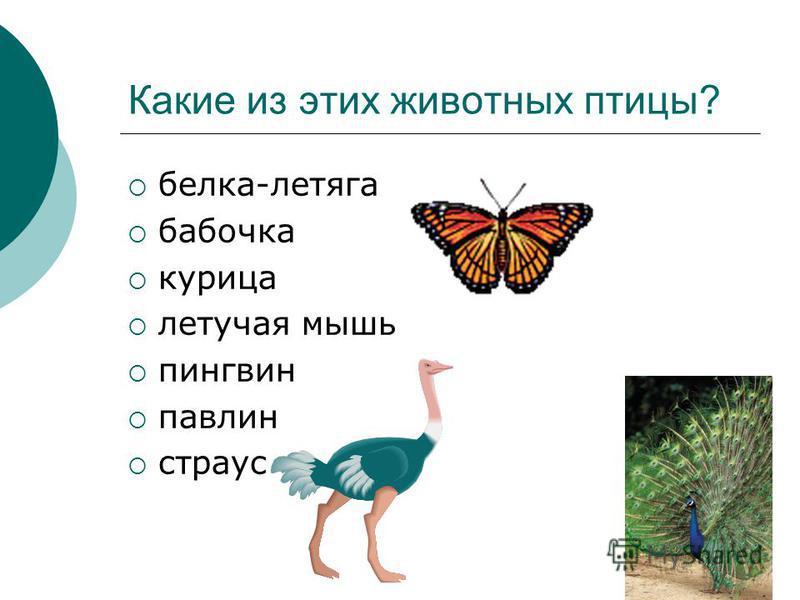 Какие из этих животных птицы? белка-летяга бабочка курица летучая мышь пингвин павлин страус