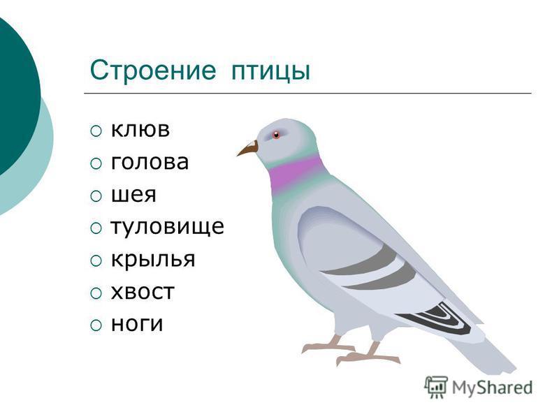 Строение птицы клюв голова шея туловище крылья хвост ноги
