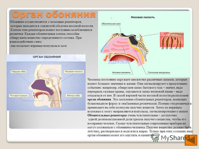 Орган обоняния Обоняние осуществляется с помощью рецепторов, которые находятся в слизистой оболочке носовой полости. Клетки этих рецепторов имеют постоянно колеблющиеся реснички. Каждая обонятельная клетка способна обнаружить вещество определенного с