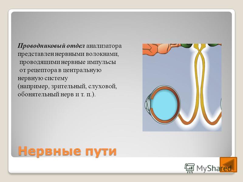 Нервные пути Проводниковый отдел анализатора представлен нервными волокнами, проводящими нервные импульсы от рецептора в центральную нервную систему (например, зрительный, слуховой, обонятельный нерв и т. п.).