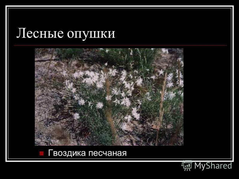 Лесные опушки Гвоздика песчаная