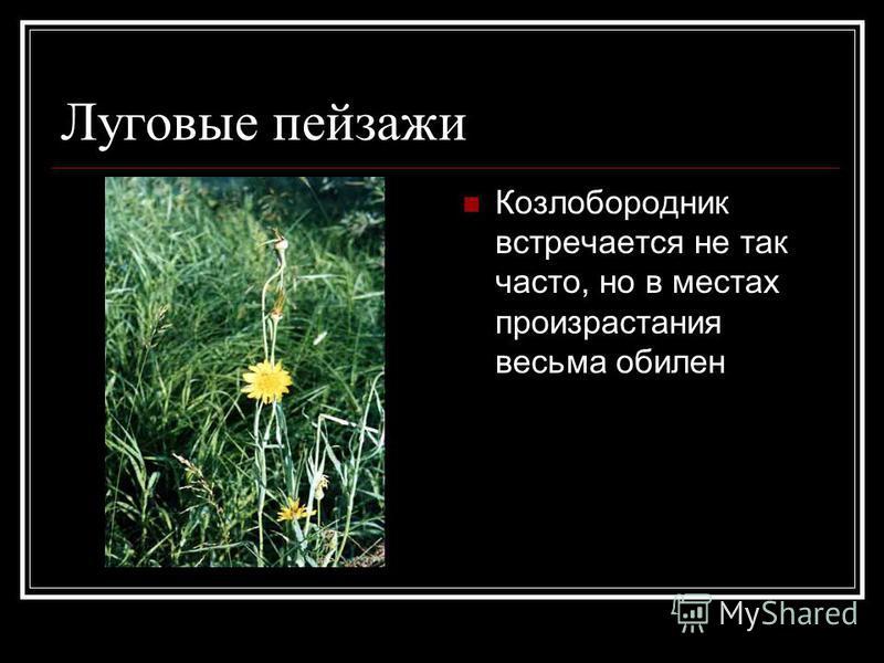 Луговые пейзажи Козлобородник встречается не так часто, но в местах произрастания весьма обилен