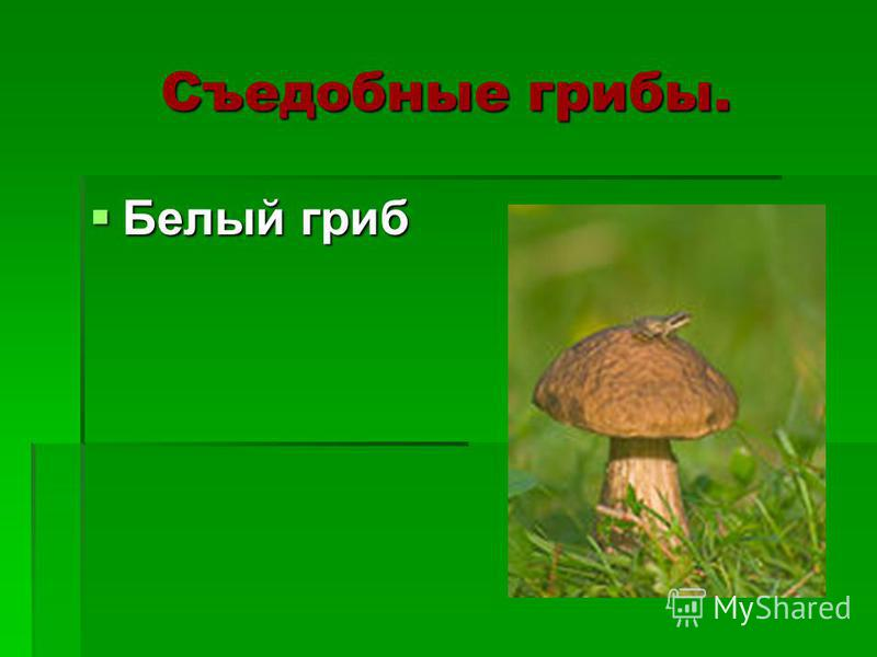 Съедобные грибы. Белый гриб Белый гриб