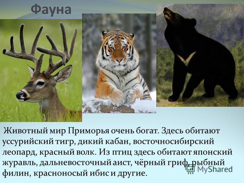 Фауна Животный мир Приморья очень богат. Здесь обитают уссурийский тигр, дикий кабан, восточносибирский леопард, красный волк. Из птиц здесь обитают японский журавль, дальневосточный аист, чёрный гриф, рыбный филин, красноносый ибис и другие.