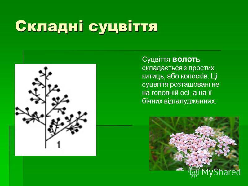 Складні суцвіття Суцвіття волоть складається з простих китиць, або колосків. Ці суцвіття розташовані не на головній осі,а на її бічних відгалудженнях.