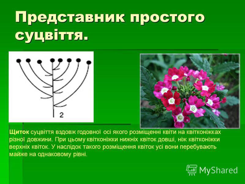 Представник простого суцвіття. Щиток суцвіття вздовж годовної осі якого розміщенні квіти на квітконіжках різної довжини. При цьому квітконіжки нижніх квіток довші, ніж квітконіжки верхніх квіток. У наслідок такого розміщення квіток усі вони перебуваю