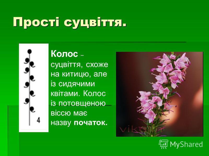 Прості суцвіття. Колос – суцвіття, схоже на китицю, але із сидячими квітами. Колос із потовщеною віссю має назву початок.