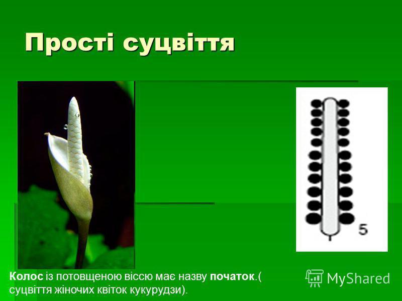 Прості суцвіття Колос із потовщеною віссю має назву початок.( суцвіття жіночих квіток кукурудзи).