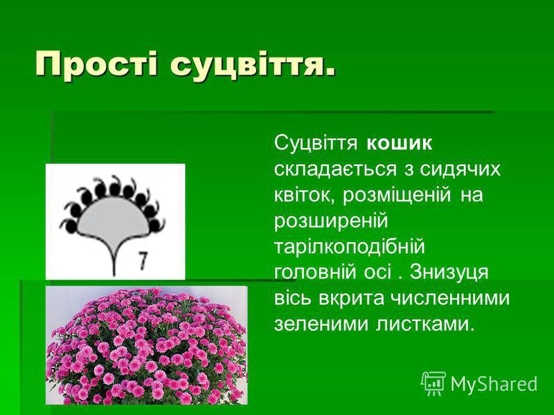 Прості суцвіття. Суцвіття кошик складається з сидячих квіток, розміщеній на розширеній тарілкоподібній головній осі. Знизуця вісь вкрита численними зеленими листками.