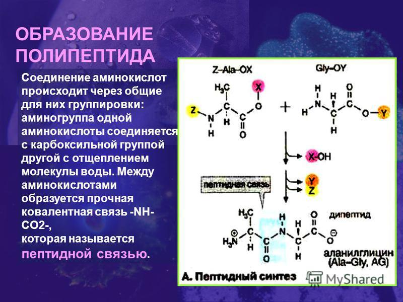 ОБРАЗОВАНИЕ ПОЛИПЕПТИДА Соединение аминокислот происходит через общие для них группировки: аминогруппа одной аминокислоты соединяется с карбоксильной группой другой с отщеплением молекулы воды. Между аминокислотами образуется прочная ковалентная связ