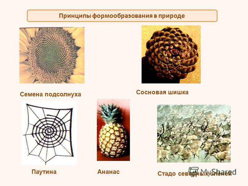 Принципы формообразования в природе Семена подсолнуха Сосновая шишка Паутина Ананас Стадо северных оленей