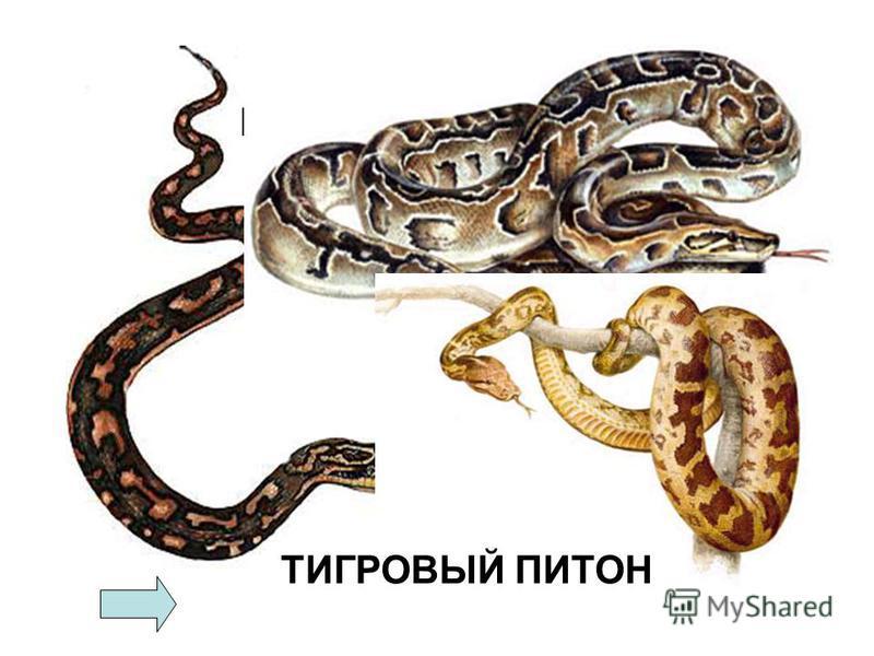 КОВРОВЫЙ ПИТОН ИЕРОГЛИФОВЫЙ ПИТОН ТИГРОВЫЙ ПИТОН