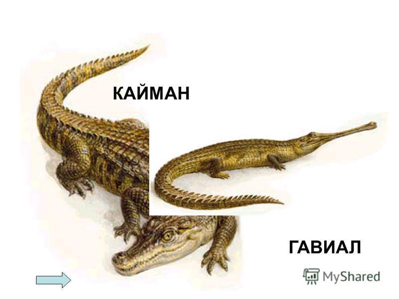 КАЙМАН ГАВИАЛ