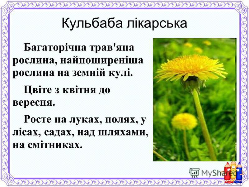 Кульбаба лікарська Багаторічна трав'яна рослина, найпоширеніша рослина на земній кулі. Цвіте з квітня до вересня. Росте на луках, полях, у лісах, садах, над шляхами, на смітниках.