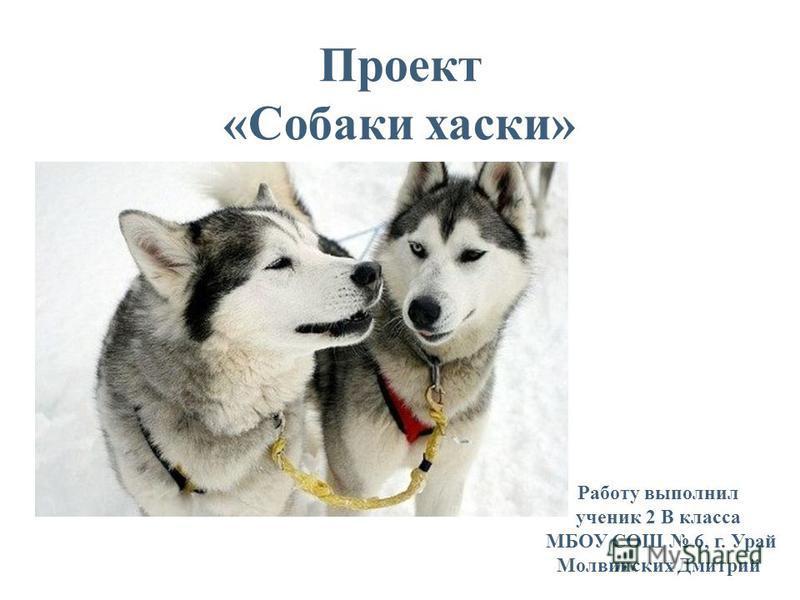 Проект «Собаки хаски» Работу выполнил ученик 2 В класса МБОУ СОШ 6, г. Урай Молвинских Дмитрий