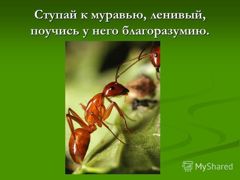 Ступай к муравью, ленивый, поучись у него благоразумию.