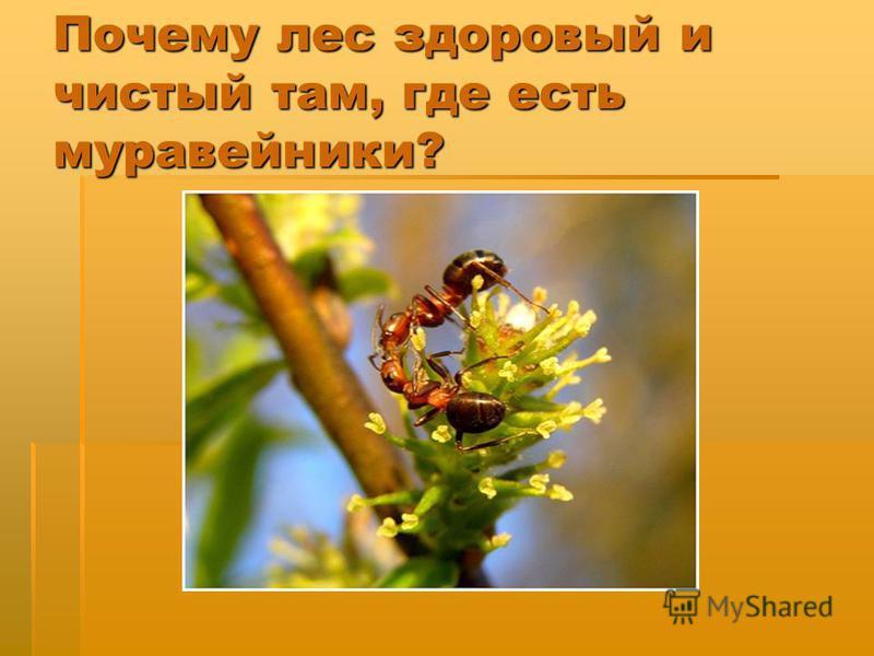 Почему лес здоровый и чистый там, где есть муравейники?