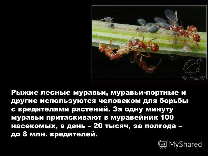 Рыжие лесные муравьи, муравьи-портные и другие используются человеком для борьбы с вредителями растений. За одну минуту муравьи притаскивают в муравейник 100 насекомых, в день – 20 тысяч, за полгода – до 8 млн. вредителей.