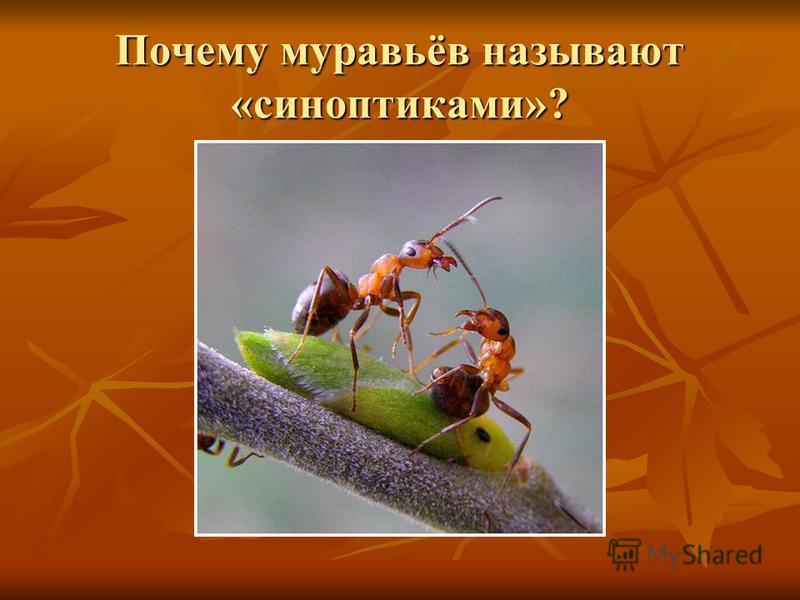 Почему муравьёв называют «синоптиками»?