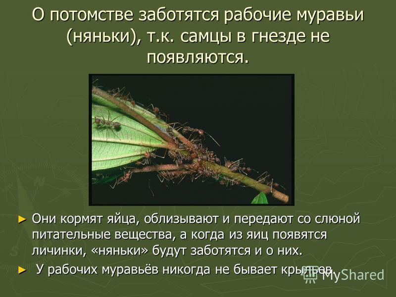 О потомстве заботятся рабочие муравьи (няньки), т.к. самцы в гнезде не появляются. Они кормят яйца, облизывают и передают со слюной питательные вещества, а когда из яиц появятся личинки, «няньки» будут заботятся и о них. У рабочих муравьёв никогда не