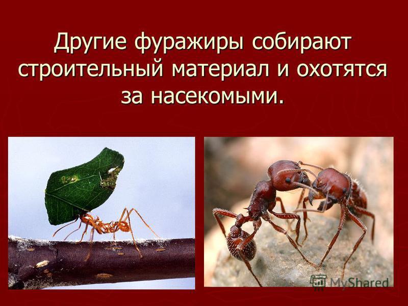 Другие фуражиры собирают строительный материал и охотятся за насекомыми.