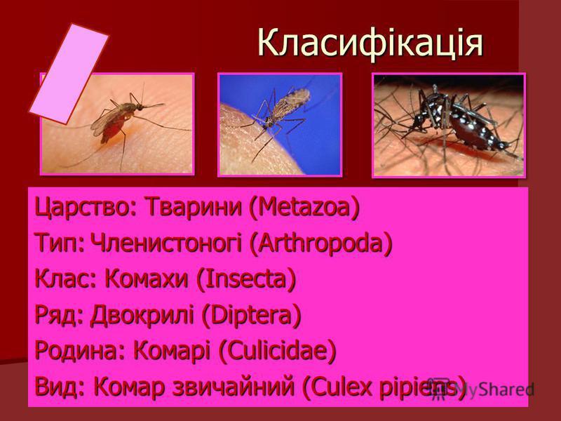 Класифікація Класифікація Царство: Тварини (Metazoa) Тип:Членистоногі (Arthropoda) Клас: Комахи (Insecta) Ряд:Двокрилі (Diptera) Родина: Комарі (Culicidae) Вид: Комар звичайний (Culex pipiens)