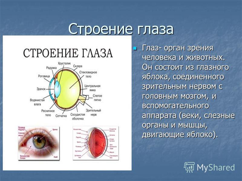 Строение глаза Глаз- орган зрения человека и животных. Он состоит из глазного яблока, соединенного зрительным нервом с головным мозгом, и вспомогательного аппарата (веки, слезные органы и мышцы, двигающие яблоко). Глаз- орган зрения человека и животн