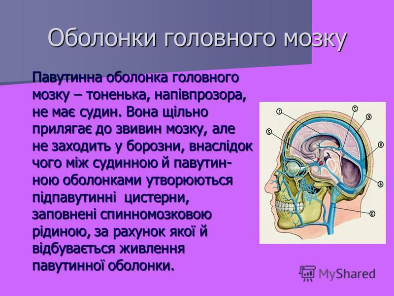 Павутинна оболонка головного мозку – тоненька, напівпрозора, не має судин. Вона щільно прилягає до звивин мозку, але не заходить у борозни, внаслідок чого між судинною й павутин- ною оболонками утворюються підпавутинні цистерни, заповнені спинномозко