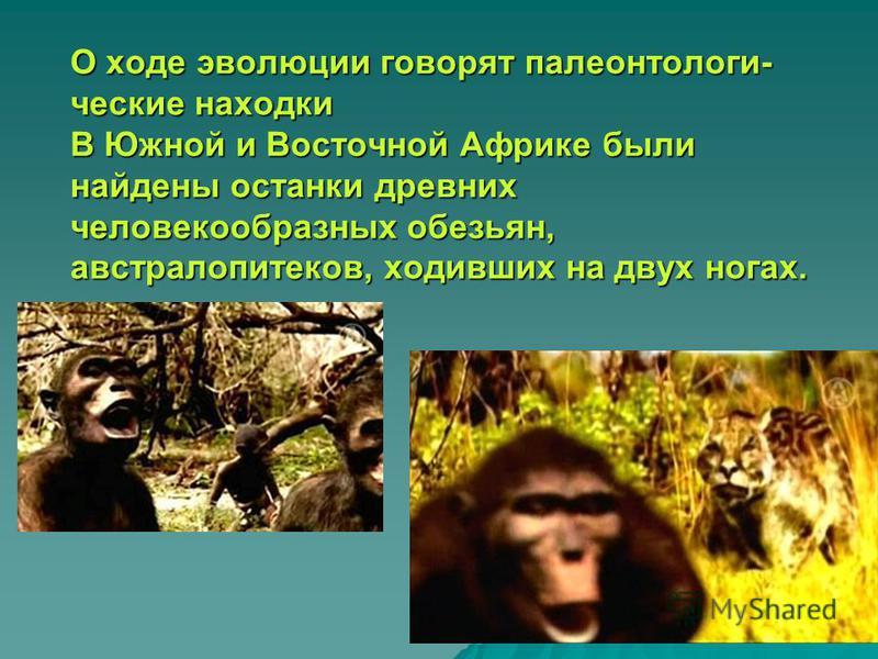 О ходе эволюции говорят палеонтологические находки В Южной и Восточной Африке были найдены останки древних человекообразных обезьян, австралопитеков, ходивших на двух ногах.