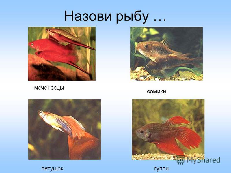 Викторина: У кого оба глаза на одном боку? У кого рот на брюхе? Какая рыба по внешнему виду напоминает шахматную фигурку? Какие рыбы имеют усики? Какие рыбы носят оружие на носу? Какие рыбы долго живут? КАМБАЛА АКУЛА МОРСКОЙ КОНЕК СОМ, ФАЗАН, ОСЕТР М