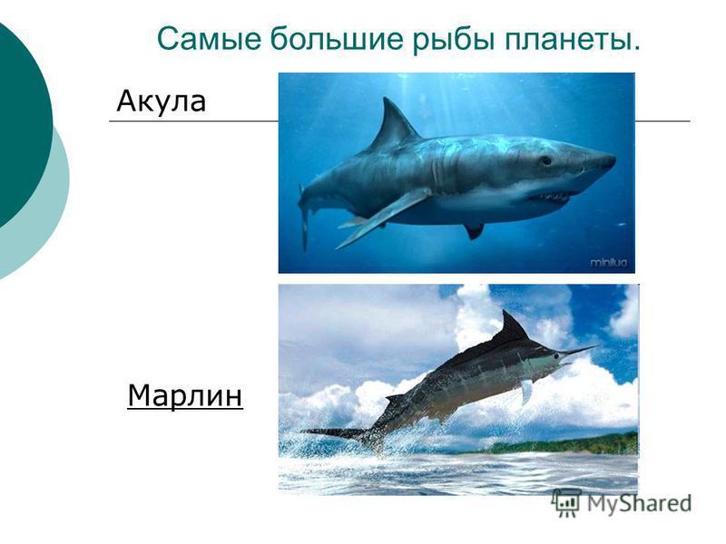 Самые большие рыбы планеты. Акула Марлин
