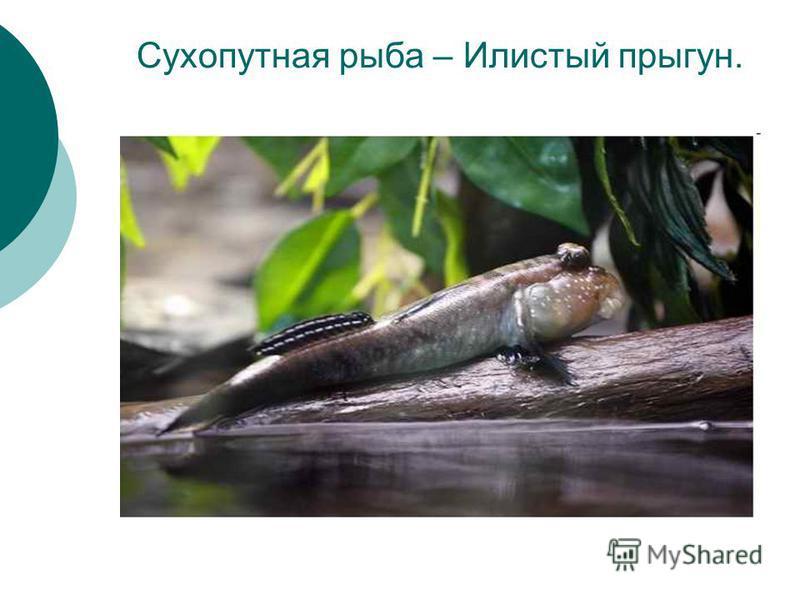 Сухопутная рыба – Илистый прыгун.