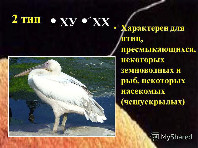 2 тип Характерен для птиц, пресмыкающихся, некоторых земноводных и рыб, некоторых насекомых (чешуекрылых) ХУ ХХ