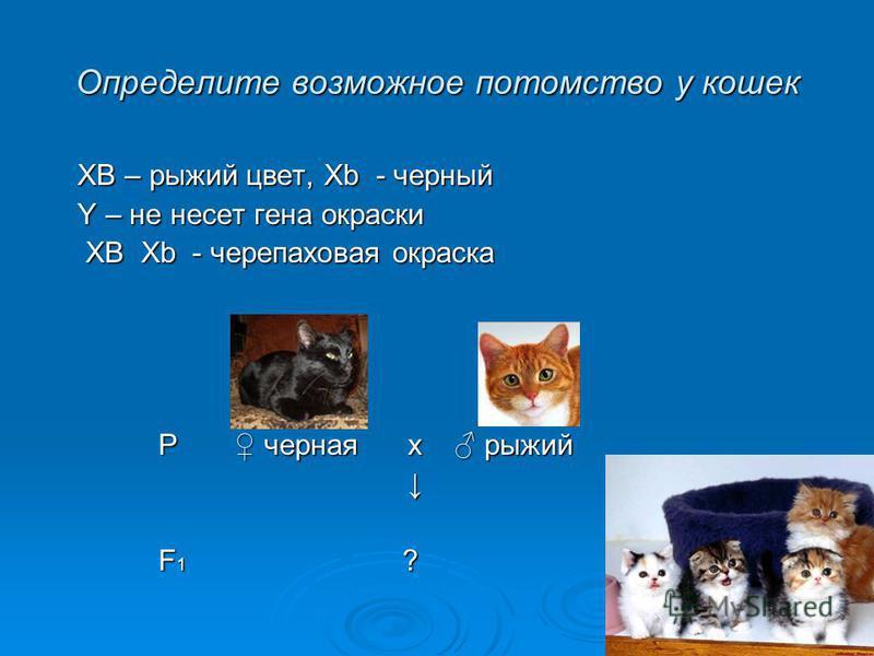 Определите возможное потомство у кошек XB – рыжий цвет, Хb - черный XB – рыжий цвет, Хb - черный Y – не несет гена окраски Y – не несет гена окраски ХВ Хb - черепаховая окраска ХВ Хb - черепаховая окраска Р черная х рыжий Р черная х рыжий F 1 ? F 1 ?