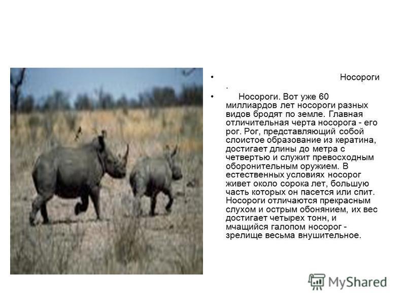 Носороги. Носороги. Вот уже 60 миллиардов лет носороги разных видов бродят по земле. Главная отличительная черта носорога - его рог. Рог, представляющий собой слоистое образование из кератина, достигает длины до метра с четвертью и служит превосходны