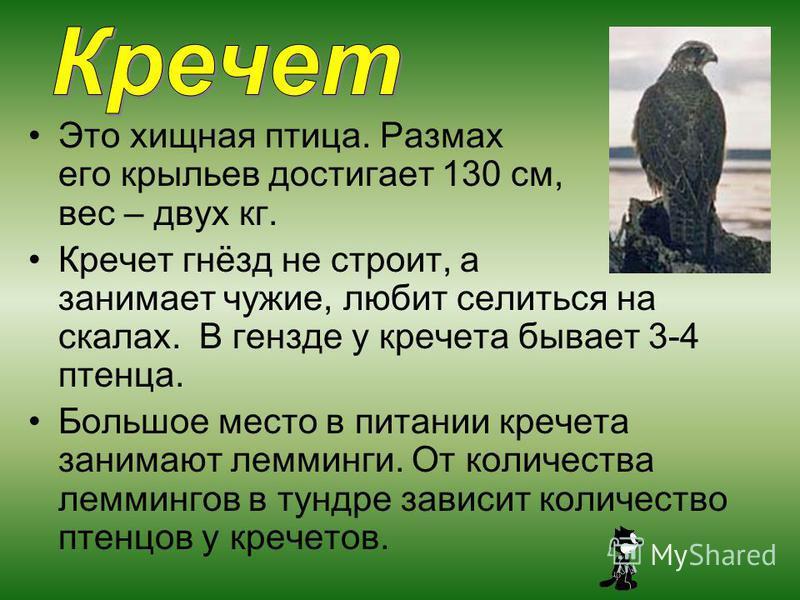 Это хищная птица. Размах его крыльев достигает 130 см, вес – двух кг. Кречет гнёзд не строит, а занимает чужие, любит селиться на скалах. В гнезде у кречета бывает 3-4 птенца. Большое место в питании кречета занимают лемминги. От количества леммингов