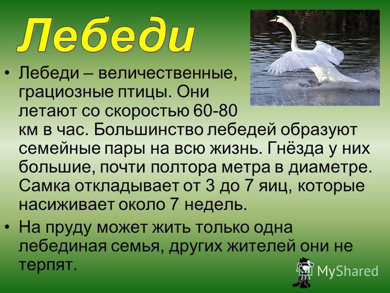 Лебеди – величественные, грациозные птицы. Они летают со скоростью 60-80 км в час. Большинство лебедей образуют семейные пары на всю жизнь. Гнёзда у них большие, почти полтора метра в диаметре. Самка откладывает от 3 до 7 яиц, которые насиживает окол