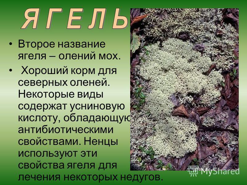 Второе название ягеля – олений мох. Хороший корм для северных оленей. Некоторые виды содержат усниновую кислоту, обладающую антибиотическими свойствами. Ненцы используют эти свойства ягеля для лечения некоторых недугов.