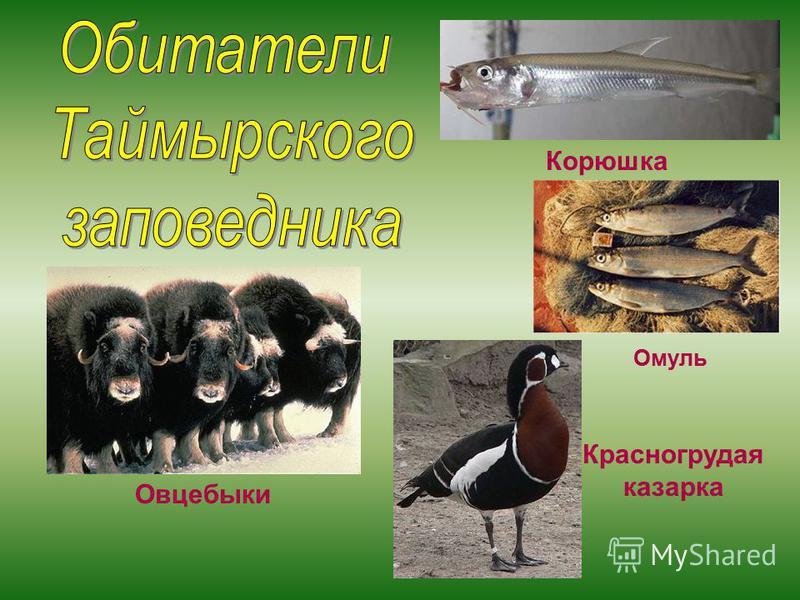 Овцебыки Корюшка Омуль Красногрудая казарка