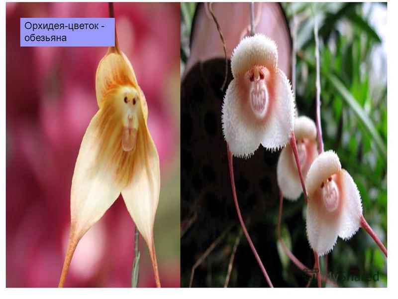 Орхидея-цветок - обезьяна