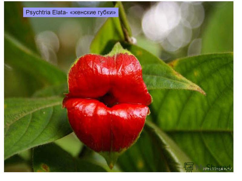 Psychtria Elata- «женские губки»