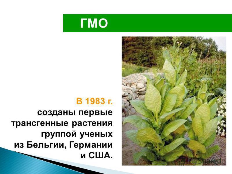 ГМО В 1983 г. созданы первые трансгенные растения группой ученых из Бельгии, Германии и США.