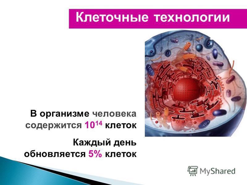 Клеточные технологии В организме человека содержится 10 14 клеток Каждый день обновляется 5% клеток