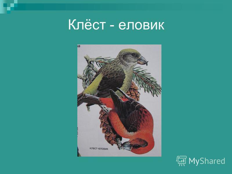 Клёст - еловик