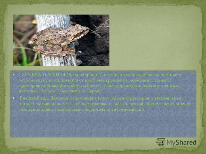 ЛЯГУШКА ТРАВЯНАЯ (Rana temporaria) по внешнему виду очень напоминает остромордую, но отличается от нее более крупными размерами, темным мрамороподобным рисунком на брюхе, тупой мордой и низким внутренним пяточным бугром. Населяет всю Европу. Внешний