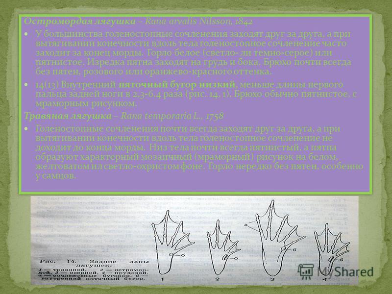 Остромордая лягушка – Rana arvalis Nilsson, 1842 У большинства голеностопные сочленения заходят друг за друга, а при вытягивании конечности вдоль тела голеностопное сочленение часто заходит за конец морды. Горло белое (светло- ли темно-серое) или пят