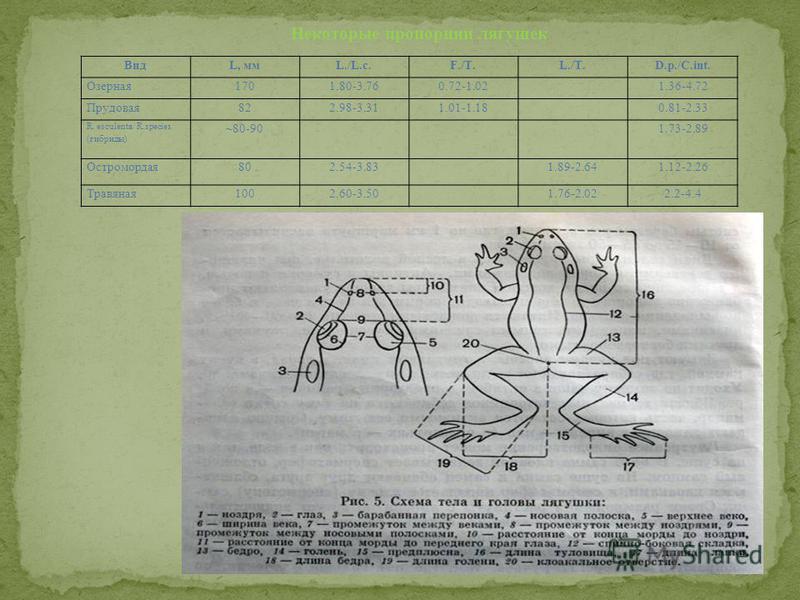 ВидL, ммс./L.c.F./T.L./T.D.p./C.int. Озерная 1701.80-3.760.72-1.021.36-4.72 Прудовая 822.98-3.311.01-1.180.81-2.33 R. esculenta/ R.species (гибриды) ~80-901.73-2.89 Остромордая 802.54-3.831.89-2.641.12-2.26 Травяная 1002.60-3.501.76-2.022.2-4.4 Некот